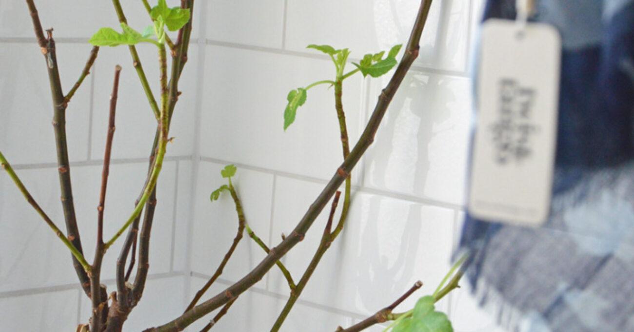 fikonträd 150107