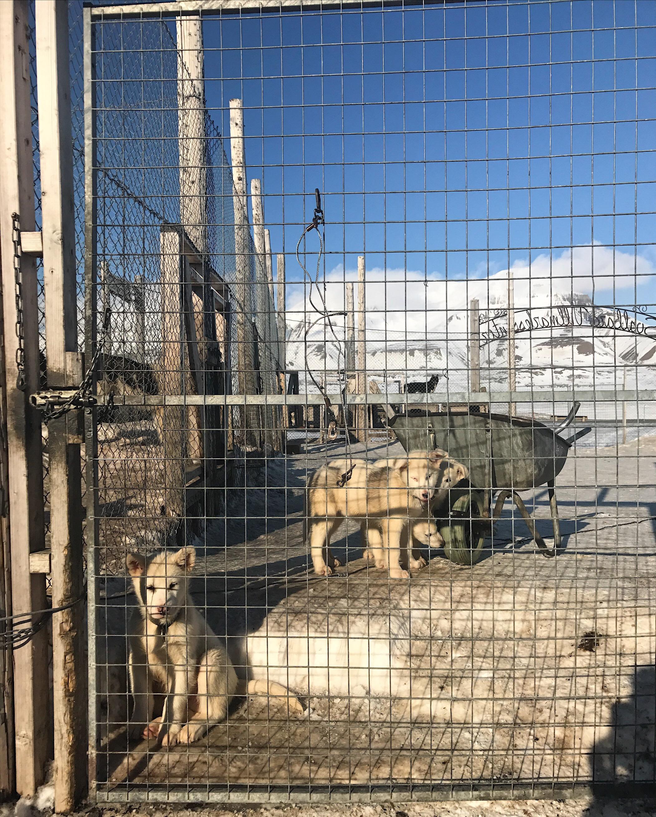 Puppy love in Longyearbyen…