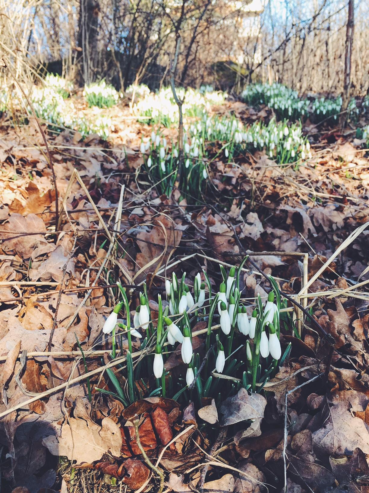 #snödroppar#snowdrops#spring#vår#inredningsblogg#joelhome
