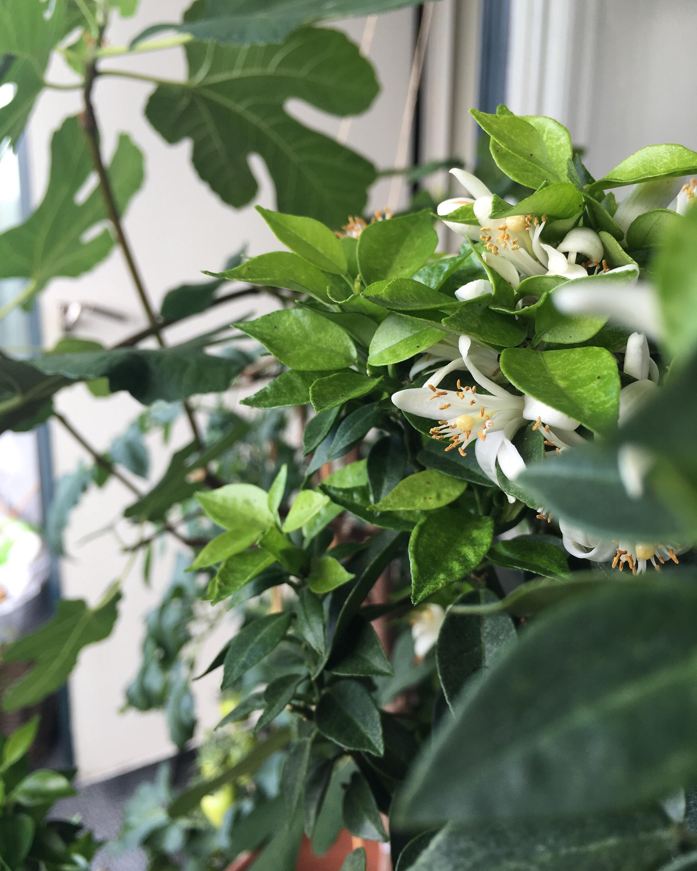 #fleurdoranger#orange#lemontree#balkong#balcony#inredningsblogg#joelhome