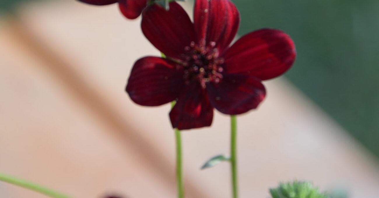 blomlåda chokladblomma blogg