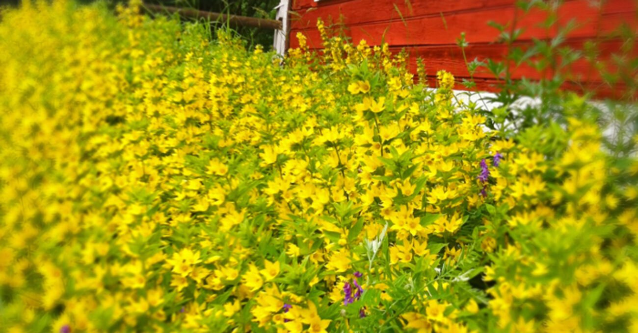 gula blommor sommar blogg 130710