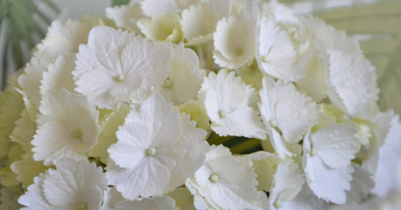hortensia blogg 130306